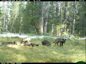 wolf-pups-jpg